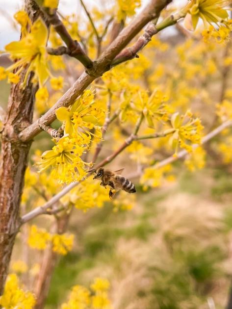 Náš sad je pro včelky domovem od brzkého jara, kdy kvetou dříny.
